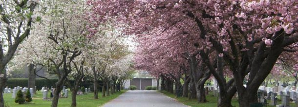 beautiful pink and white cherry blossoms in a cemetery