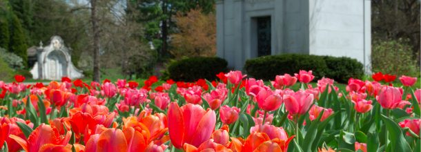 pink and orange tulips with cemetery in background